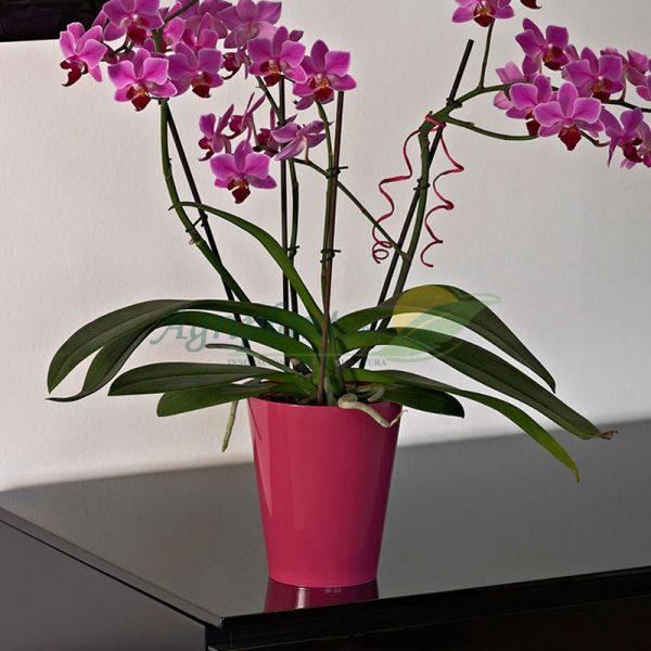 maceta clivo orchidea lima