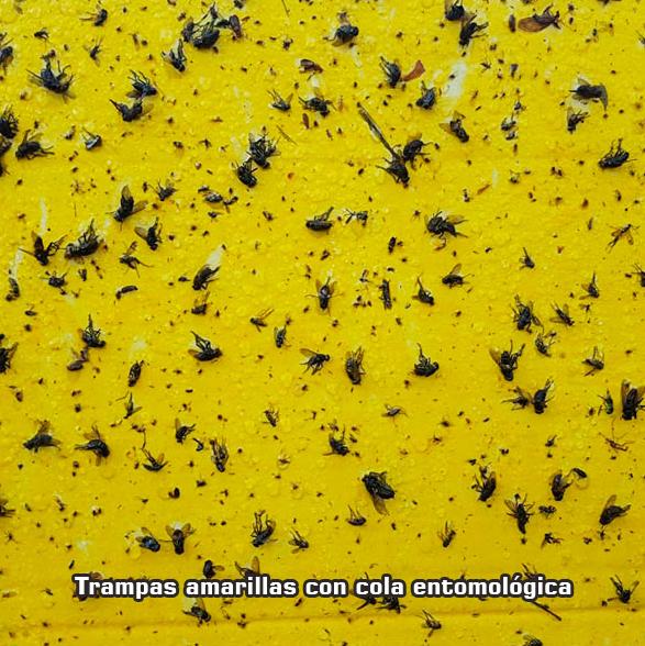 trampas amarillas con cola entomologica